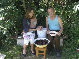 two people picking cherry pits out of a big tub of cherries